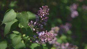 Spring time. Lilac branches during flowering with undecayed buds.  stock video footage
