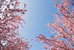 Spring time looking up. Branches of rosy flowers in the earliest springtime stock photography