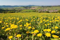 Spring time and meadow with common dandelion. (taraxacum) - Carpathian mountains - Horni Lidec village, Moravia, Czech Republic Stock Photo