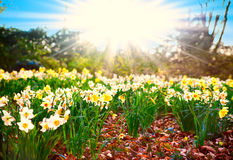 Spring time. narcissus flowers Royalty Free Stock Photos