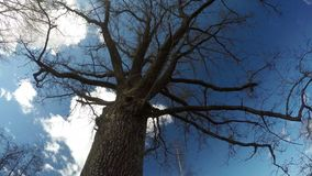 Spring old oak trunk with branches and beautiful clouds motion, time lapse. Spring time old oak trunk with branches and beautiful clouds motion on sky, time stock footage