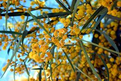 Spring Time Opened Yellow Flowers. Spring Time Yellow Flowers Opened Stock Photo