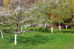 Spring time in a park - blooming cherry trees Royalty Free Stock Image