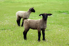 Spring time in the Pasture. Spring time in a open filed with two young lambs Stock Photography