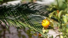 Spring time! Fruits. Photo of a clementine under the sun grass green spring tangerine time stock image