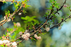 Spring time pink white flowers on tree branch. Stock Photo