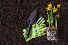 Spring time, planting seasonal plants.Narcissus. Gardening. Soil royalty free stock photography