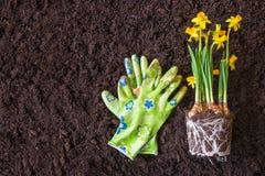 Spring time, planting seasonal plants.Narcissus. Gardening. Soil stock photo