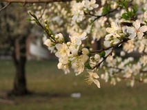 Spring time - plum flowers. Plum branches with white flowers Royalty Free Stock Photo