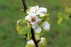 Spring time - plum flowers Royalty Free Stock Photos