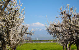 Spring Time with Plum Trees Royalty Free Stock Image