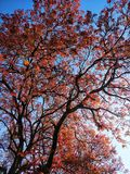 Spring time red leaves with blue sky background. Sting spring time red leaves blue sky background stock images