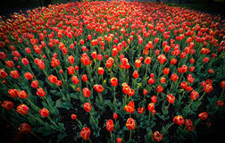 Spring time red tulips in full bloom. Royalty Free Stock Photography