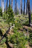 Spring time regeneration. Forest fire regeneration. Pine trees and wildflowers growing in a stand of burned trees. Oregon Stock Images