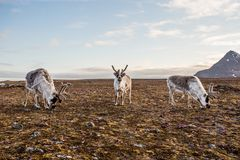 Reindeer on tundra royalty free stock photography