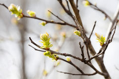 Spring time scene in park. First green leaves, tree twig macro view, selective focus. Beautiful bokeh background. Royalty Free Stock Image