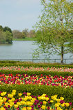 Spring time scenery. Tulips in srping scenery at Chicago Stock Image