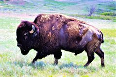 SPRING TIME SHEADING. A MATURE BISON BULL GRAZING ON THE OPEN PRAIE OF THE BAD LANDS IN SOUTH DAKOTA stock photography