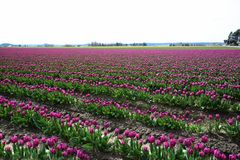Field of Purple Tulips in April Stock Photography