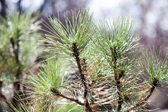 Spring time spruce branch closeup. Fir tree soft and blurry green background. Macro view selective focus.  royalty free stock photography
