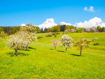 Spring time sunny landscape with blooming cherry tree orchard, lush green grass, blue sky and white clouds.  royalty free stock photos