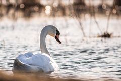 Spring Time Swan in Sunset Lake stock image