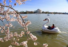 Spring time in tidal basin in Washington DC. A boat just pass through love cherry blossom Jefferson memorial at background Stock Photo