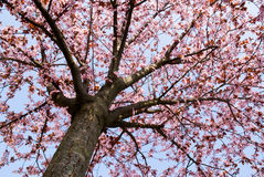 Spring time tree Royalty Free Stock Photo