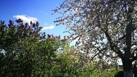 Spring time. Tree blooming sky blue green nature village royalty free stock photo