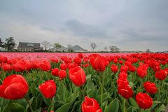 Red and pink tulip field. Spring time and tulip blossom on the field having pink and red color Stock Photography