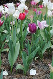 Spring Time Tulip Flower Garden Stock Image