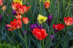 Spring time tulips Stock Photography