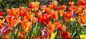 Spring Time Tulips Royalty Free Stock Image