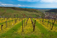 Vineyards in Alsace in spring. Spring time in the vineyards near Westhalten in Alsace royalty free stock photography