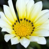 Spring Time - White Flower Macro. Macro shot for a white flower with yellow center and black spots... spring time theme... Square shot Stock Photos