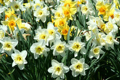 Spring time Yellow Daffodils background Stock Image