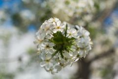 Spring times - Flowering cherry tree. Close-up shot of a sour cherry tree. Highly depicted. High resolution Stock Image