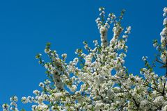 Spring times - Flowering cherry tree. Close-up shot of a sour cherry tree. Highly depicted. High resolution Stock Images