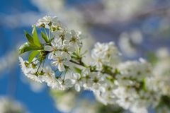 Spring times - Flowering cherry tree. Close-up shot of a sour cherry tree. Highly depicted. High resolution Royalty Free Stock Photo