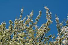 Spring times - Flowering cherry tree. Close-up shot of a sour cherry tree. Highly depicted. High resolution Stock Photos