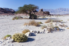 Spring in Timna park, Israel Royalty Free Stock Photo