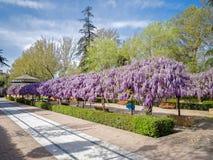 Spring in Toledo, Spain. Spring wisteria flowers in La Vega Alta Square in Toledo, Spain Stock Image