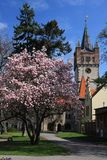 Spring in town. Flowering magnolia tree in town park with historical tower in the background. Vysoke Myto, Czech republic Stock Images