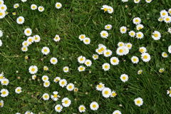 Spring in town. White spot flowers in the green grass Royalty Free Stock Photos
