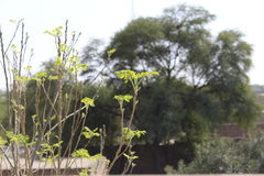 Spring in the town. Fresh leaves of Azadirachta indica srping 2017 Royalty Free Stock Photos
