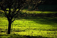 Spring tree. With bloom and green grass with light and shadow royalty free stock images