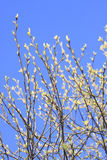Spring Tree. Spring blossom branch of tree on blue sky Royalty Free Stock Image