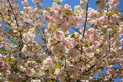 Spring tree. Pink white flowers royalty free stock images