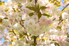 Spring tree. Pink white flowers royalty free stock photo