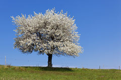 Spring tree Stock Photography